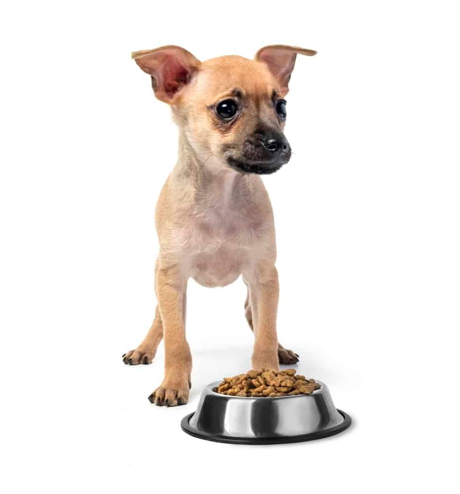 Puppy toy Terrier eating food