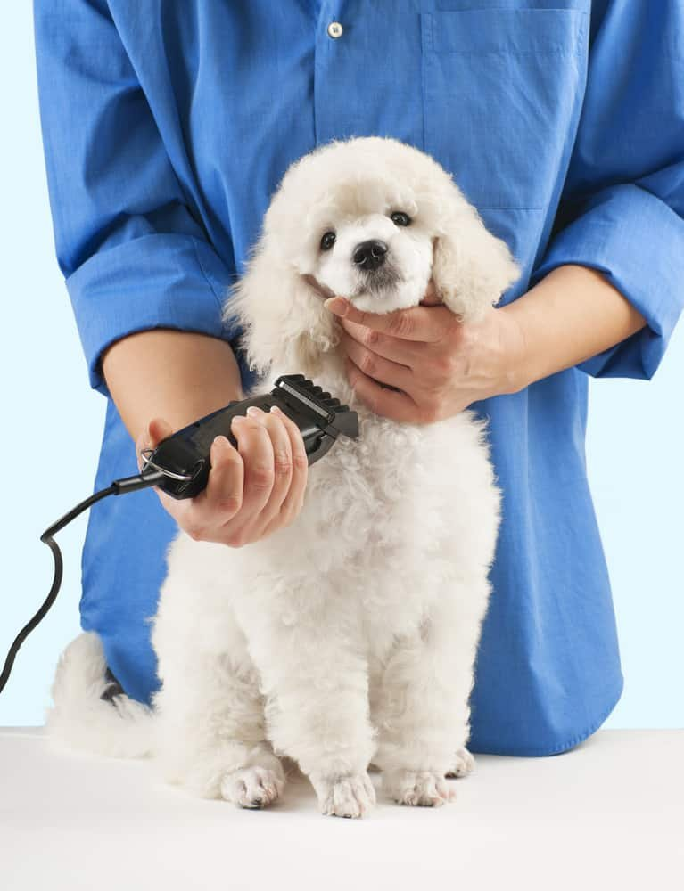 Poodle being groomed by a vibe learning student