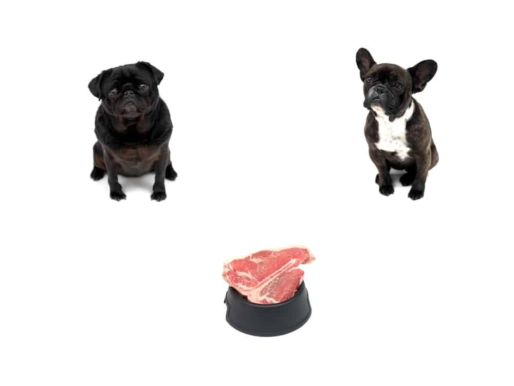 pug and boston terrier waiting patiently for a raw steak