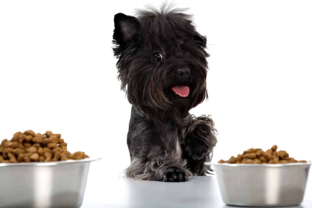 Yorkshire terrier and dinner