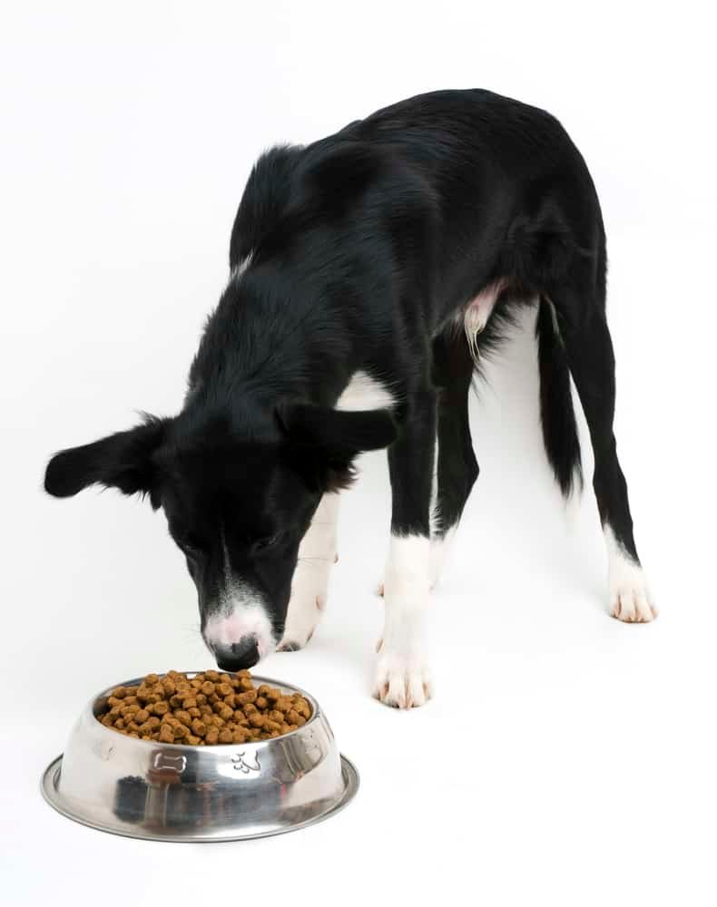 Young border collie eating food