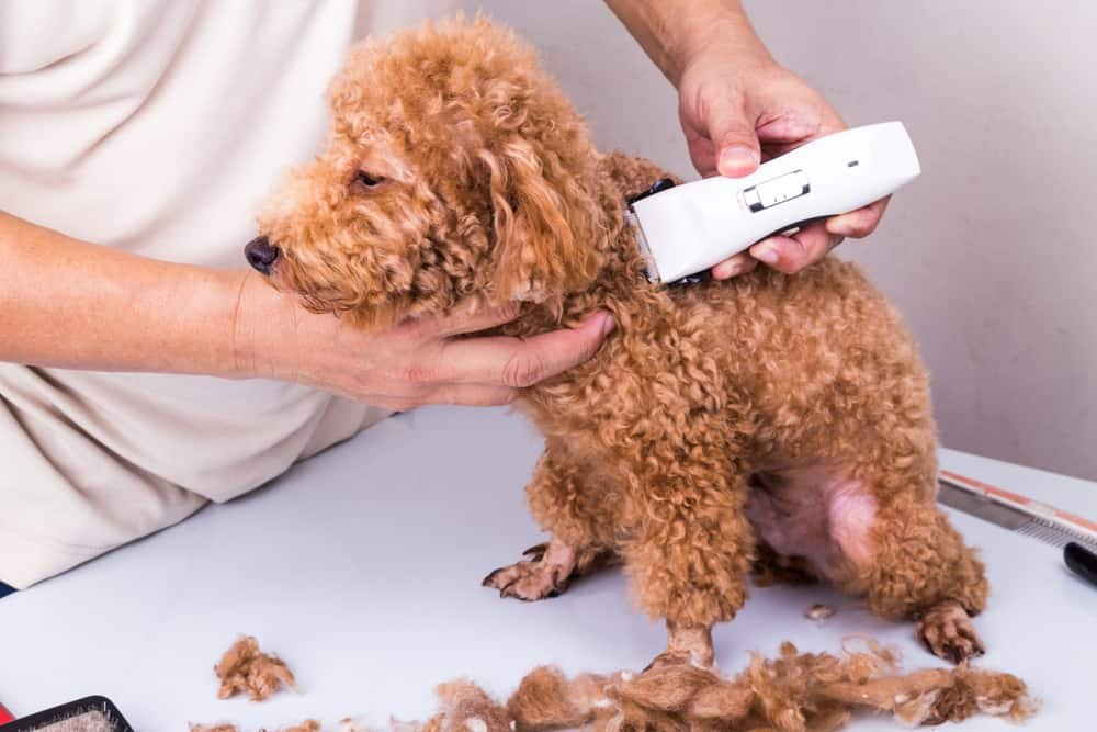 Poodles hair getting clipped