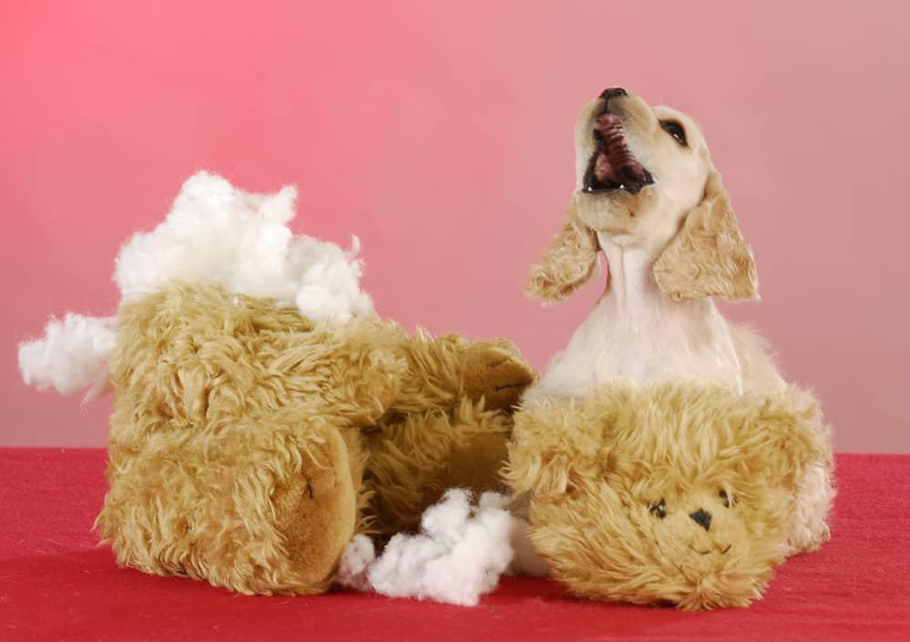 Labrador puppy chewing up teddy bear