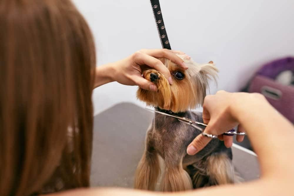Dog being shaved