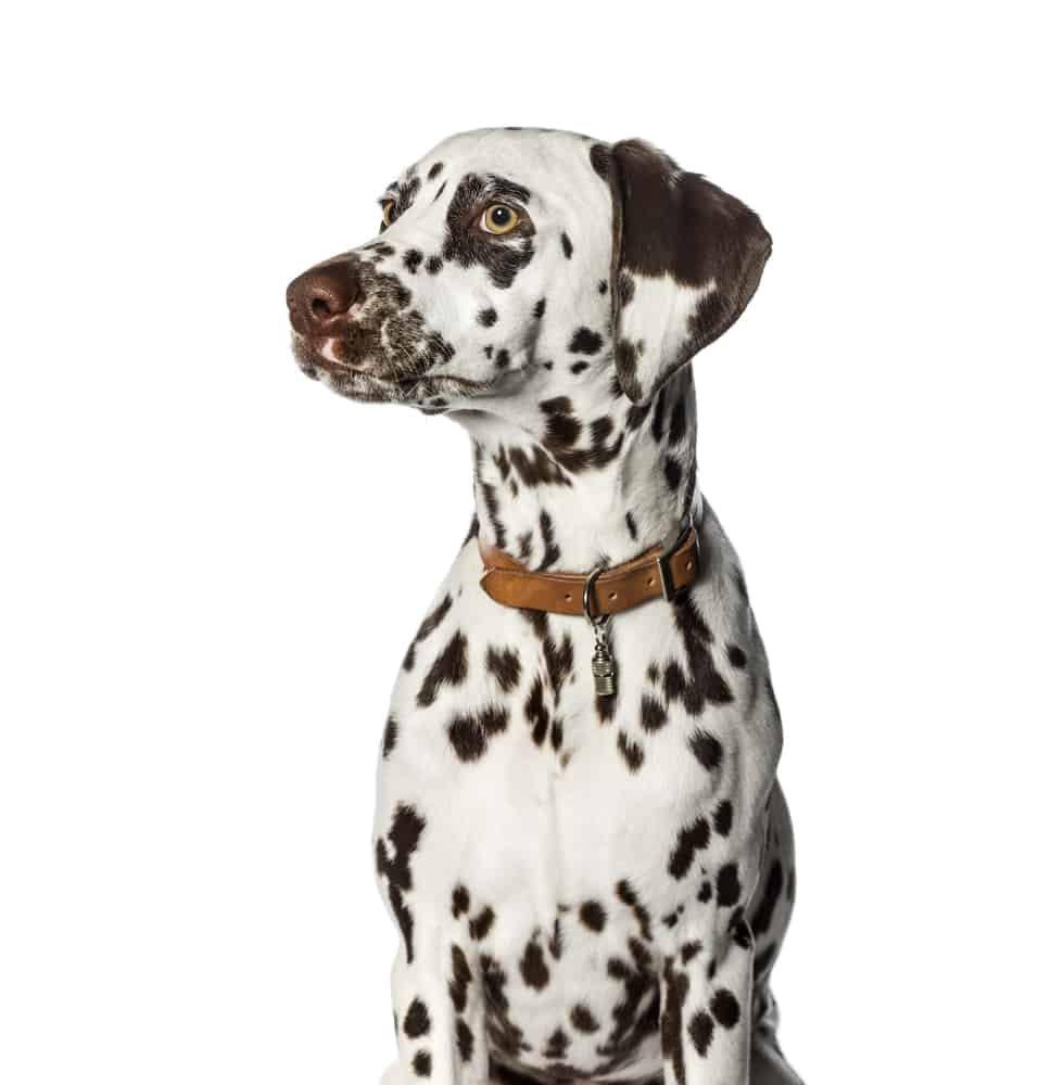 Dalmatian wearing leather collar