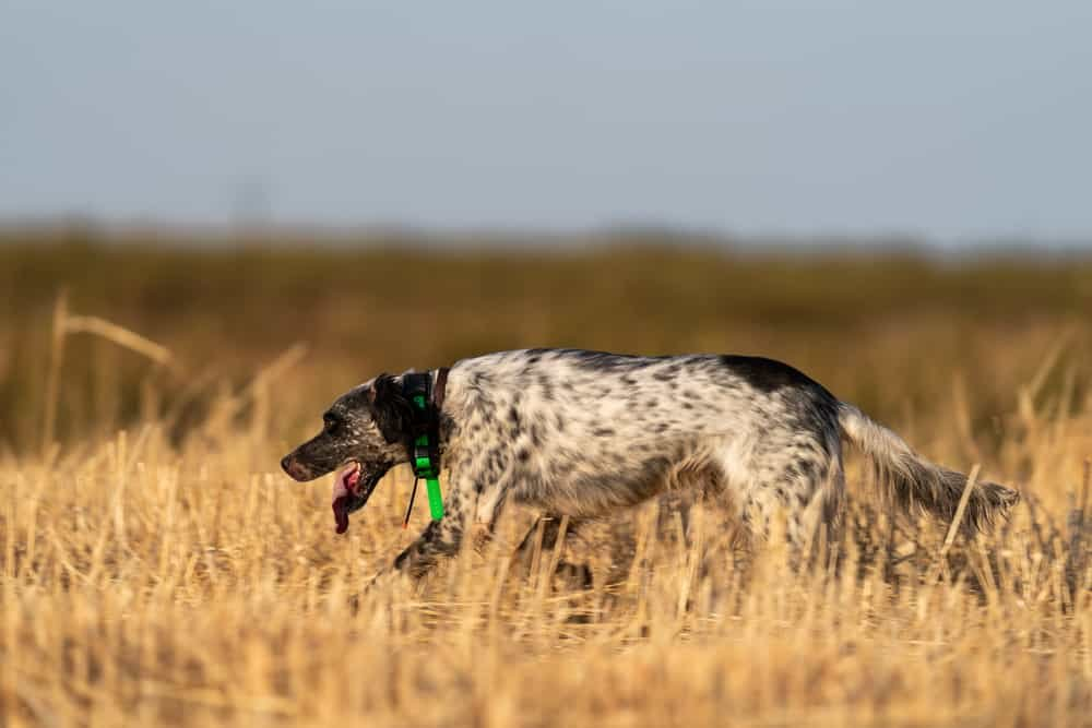 Pointer dog running with a GPS Tracker