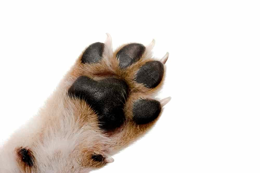 Close-up picture of dog paw