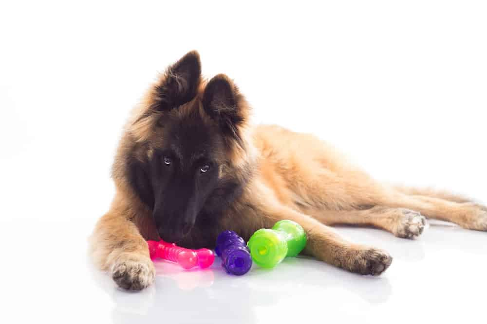 Belgian Shepherd playing with puzzle toys