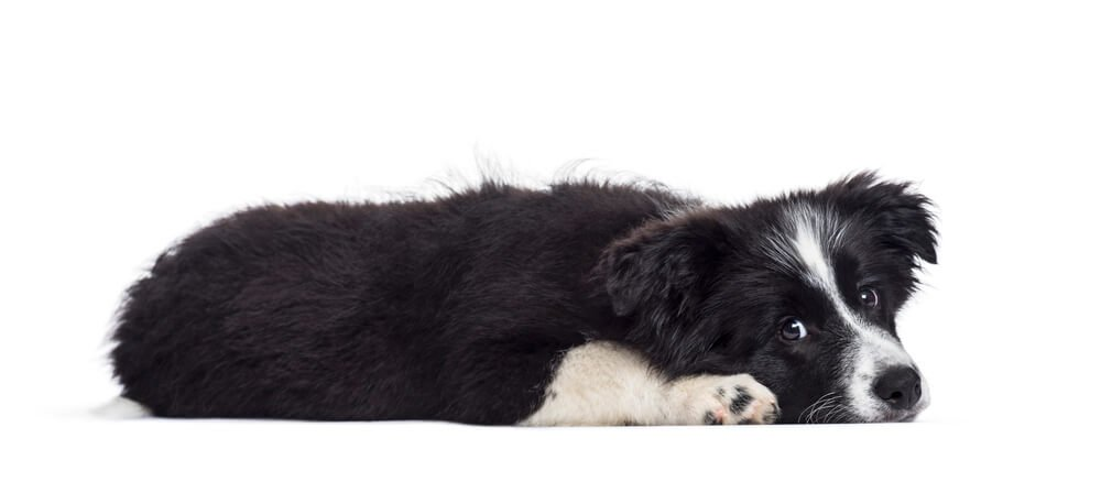 Border Collie puppy, 17 weeks old