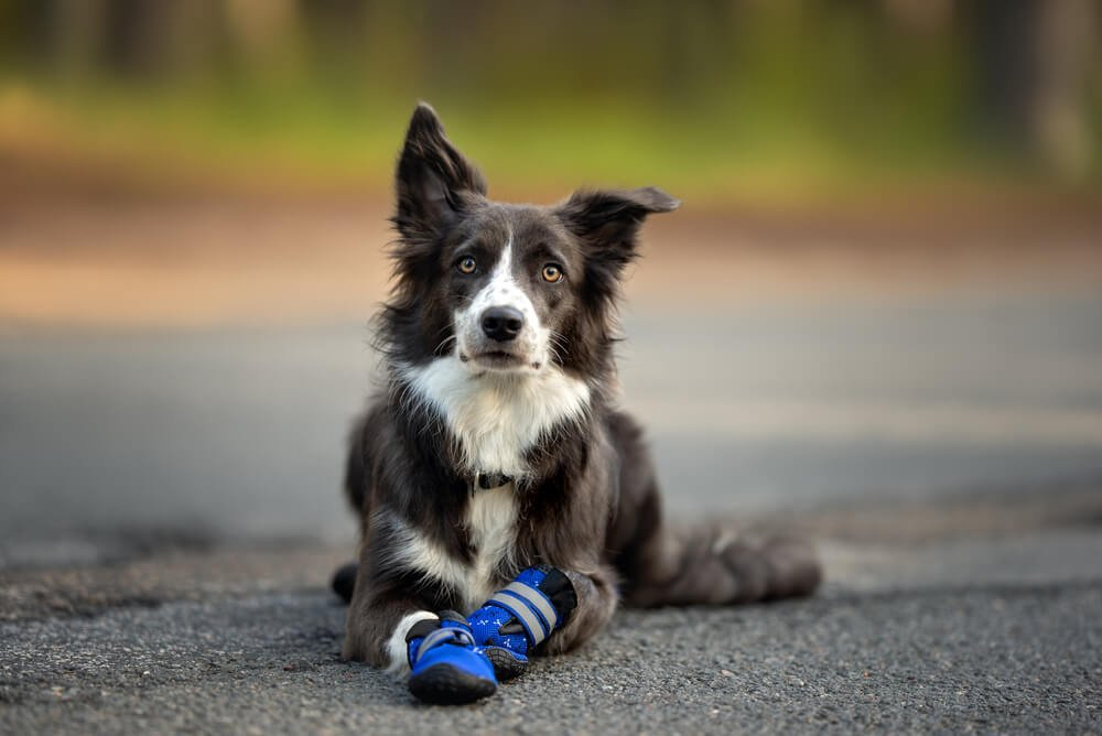 border collie dog lying down outdoors wearing dog boots