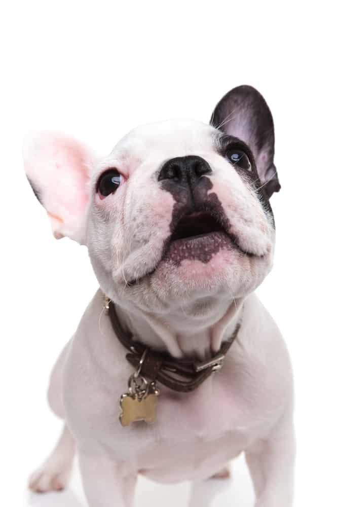 french bulldog puppy barking