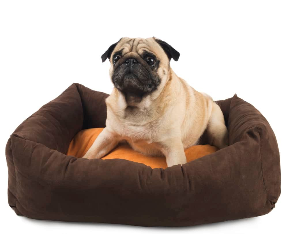 Pug in an Aldi Dog Bed