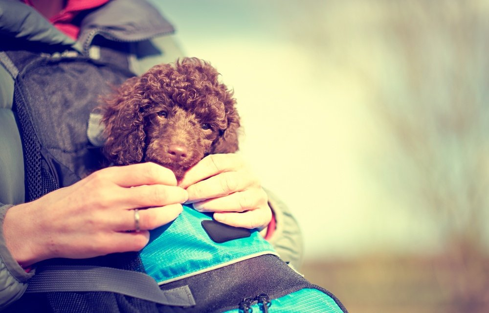 Miniature Poodle Puppy in a dog backpack