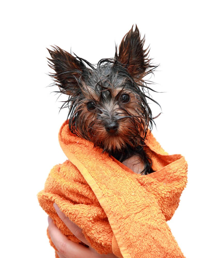 Wet Yorkshire terrier after a bath