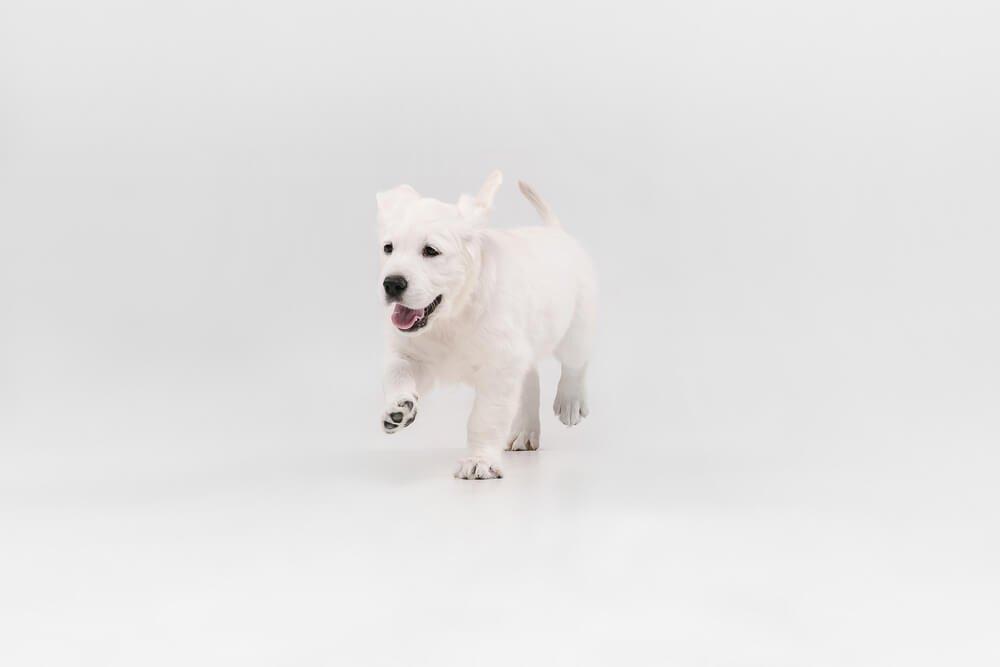 golden retriever puppy not wearing a harness or collar yet.