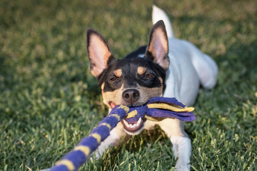 Fox Terrier playing tug of war