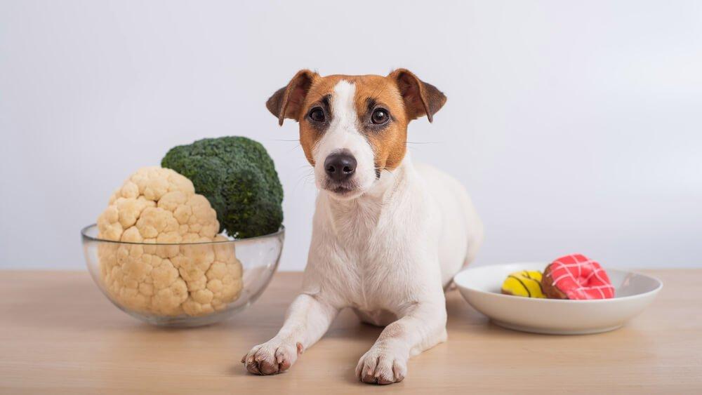 Jack russell terrier choosing between plates of broccoli and cauliflower