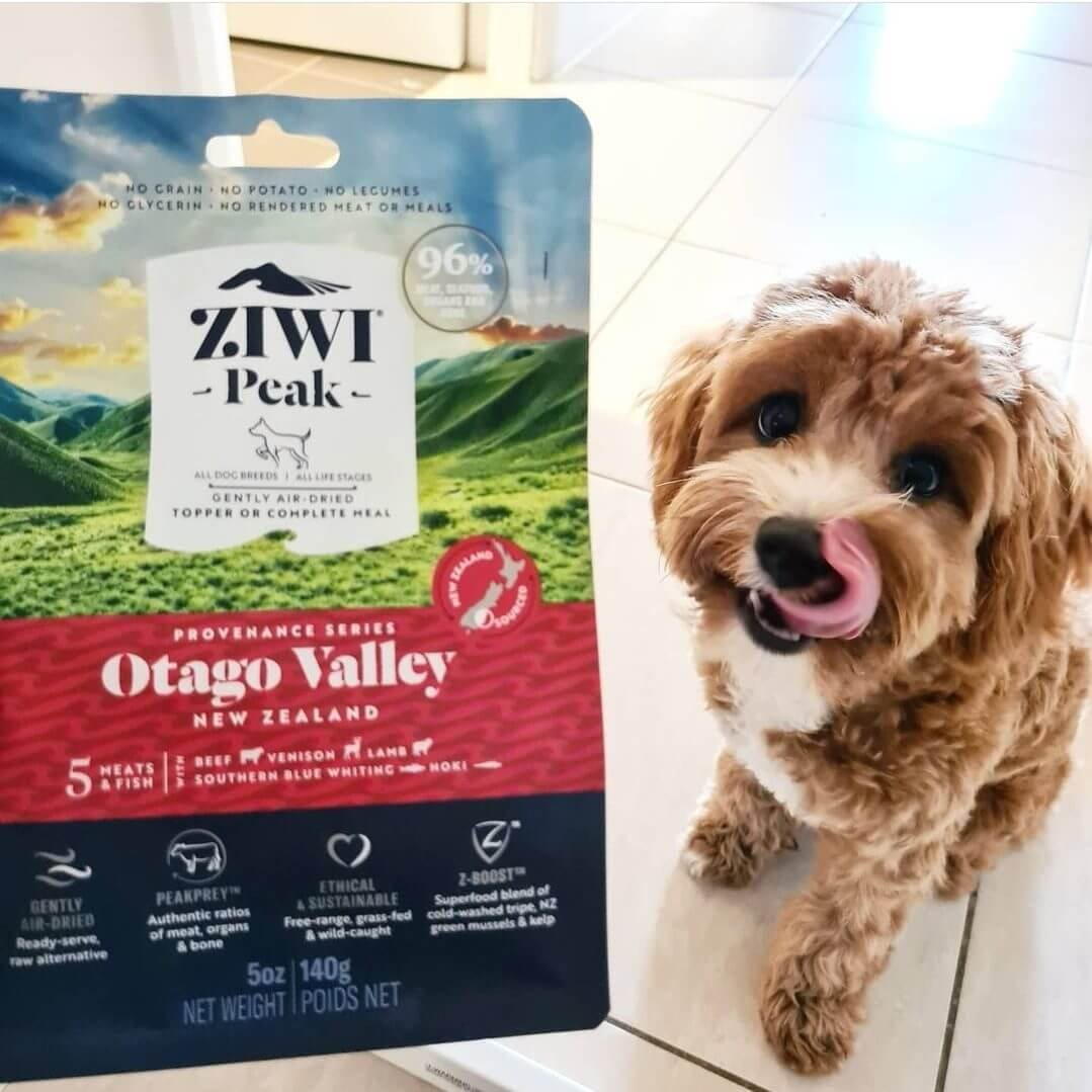 Cavoodle about to eat Ziwi Peak dog food
