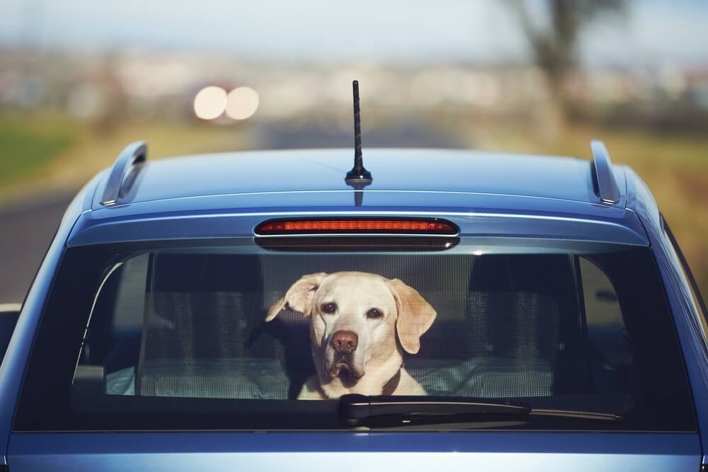 Labrador sitting in car and looking through window.