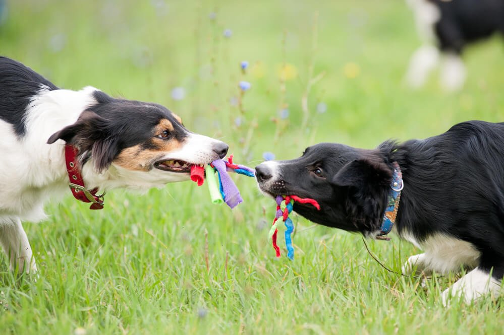 Two dogs playing with a DIY rope toy