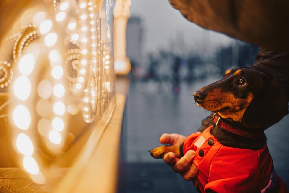 dachshund going for a walk in red jacket at dusk