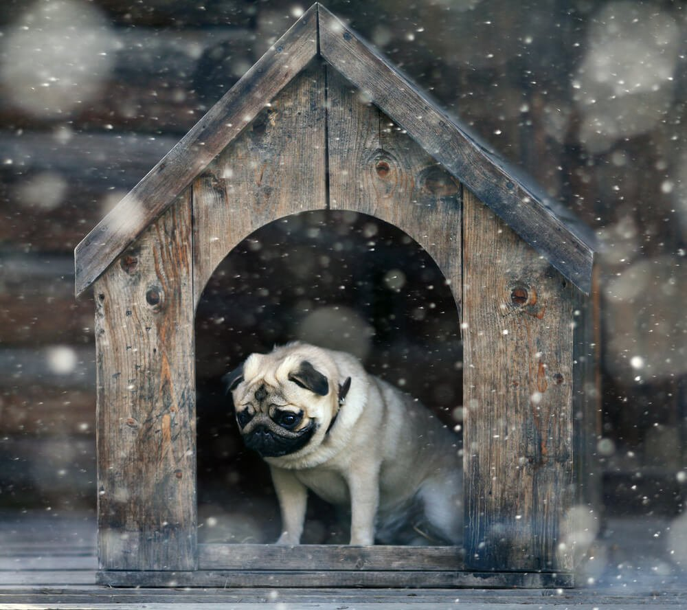 Pug dog cold in kennel