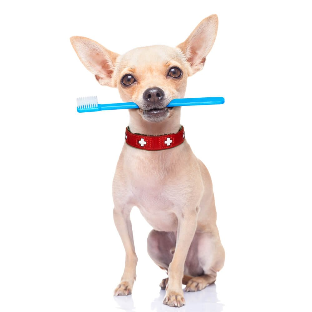 Chihuahua with a toothbrush in its mouth