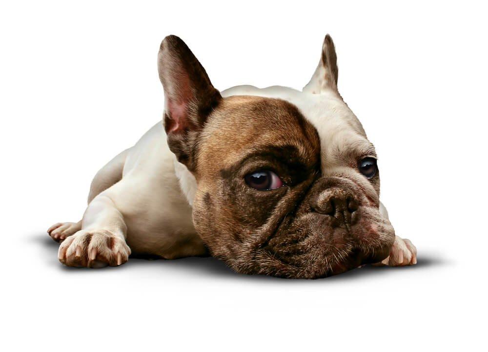 Sick French Bulldog
