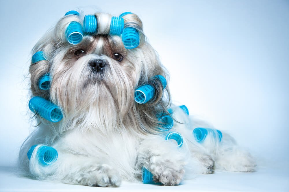 Shih Tzu in the middle of being groomed