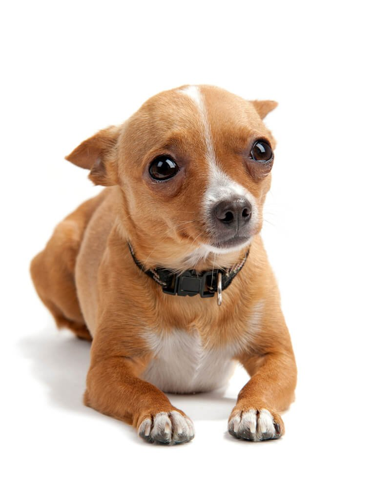Anxious Chihuahua