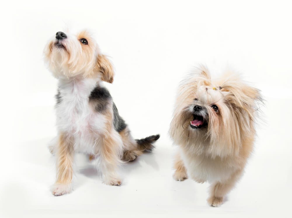 Two small dogs barking