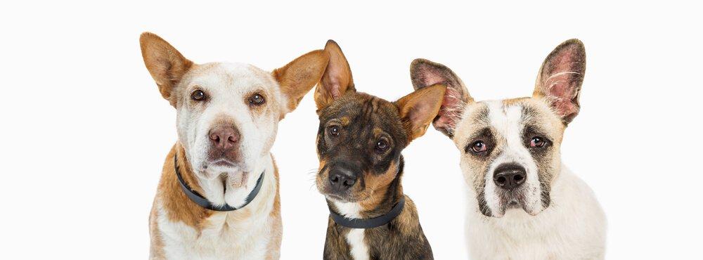 Three mix breed dogs