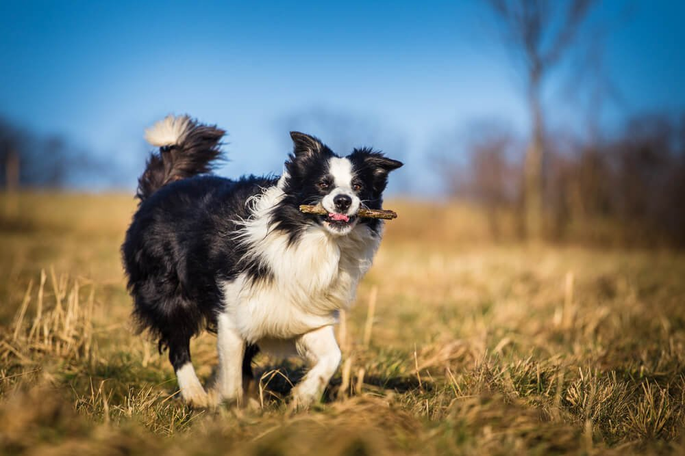 Border collie with a stick