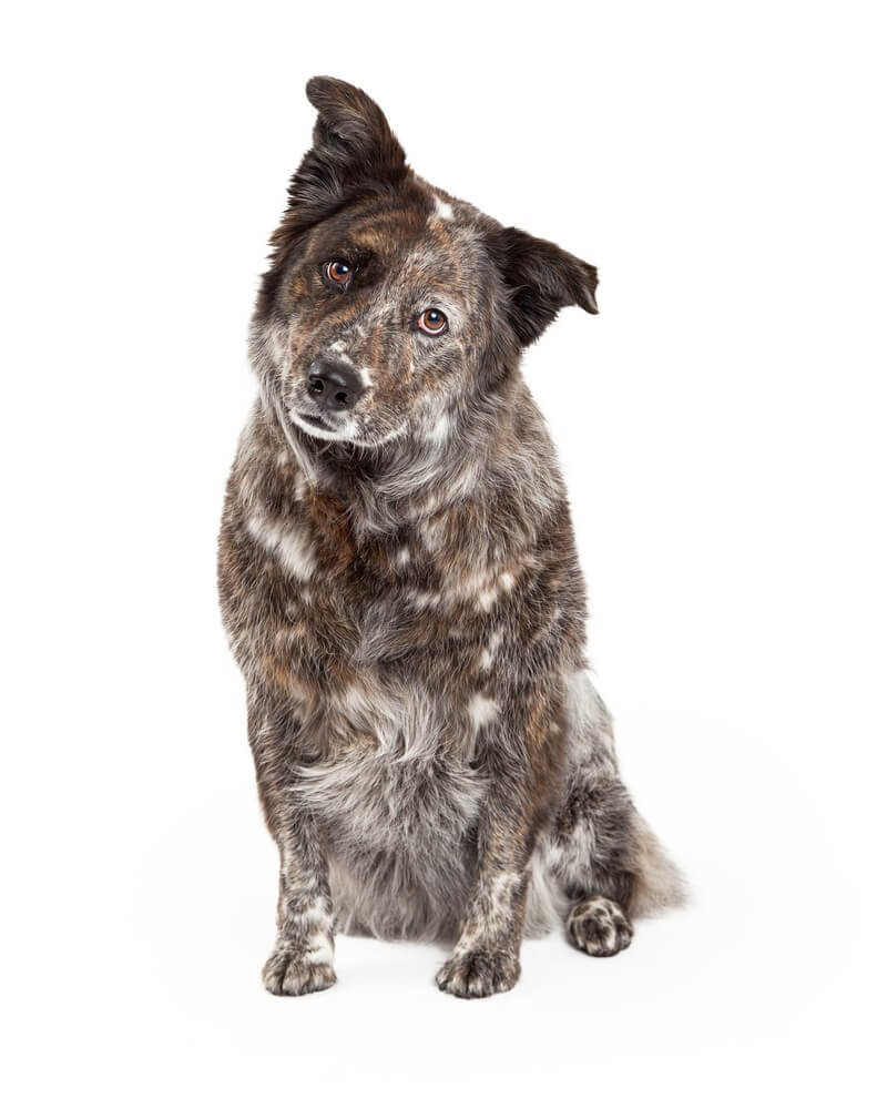 Dog DNA Test Gift for a mix breed Border Collie