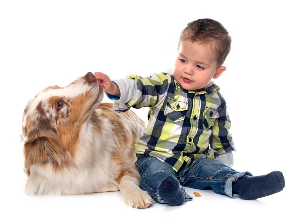 Little boy giving an Australian Shepherd a treat.