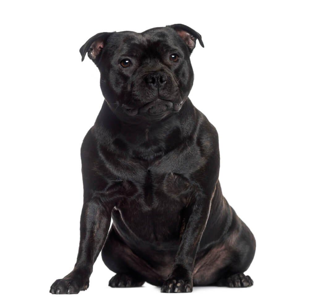 Staffordshire Bull Terrier sitting