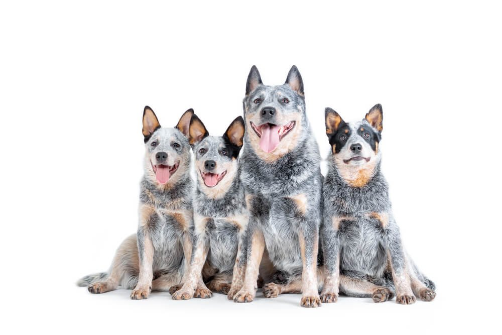 4 blue heeler dogs